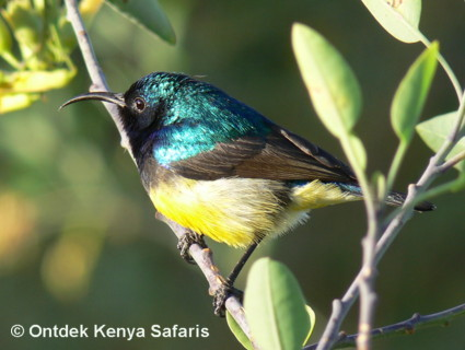 Identify Kenya birds species : Blue-headed Bee-eater