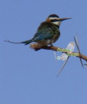 easy bird watching white throated bee eater birds species identification