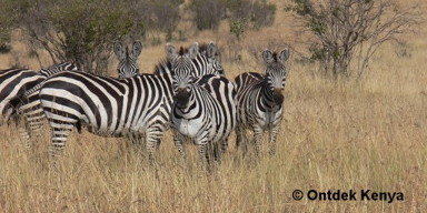 Wildlife photography in the Rift Valley: zebras.