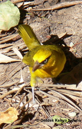 brilwever,spectacled weaver