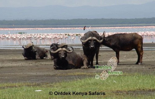 kaapse buffel,flamingos,flamingo's,lake nakuru