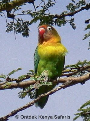fishers lovebird,agopornis