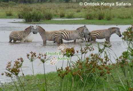 common zebra,burchell zebra