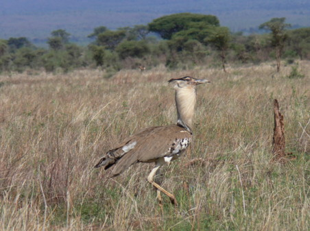 kori bustard,meru,national park,conservancy,game park