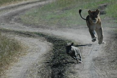 Lion chasing a baby warthog